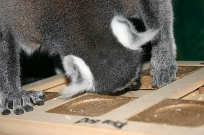 lemur with positive response training